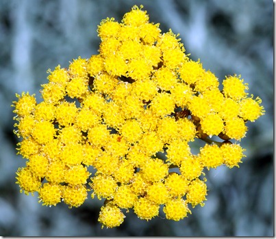 Immortelle Flower