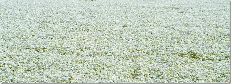 Field of meadowfoam